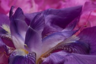 C. Vincent Ferguson - Purple Iris Macro - Digital Image